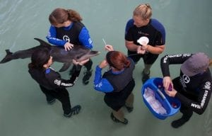 marine rescue biologists working with rescued dolphin
