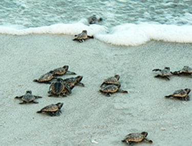 Sea turtle hatchlings crawling to the water