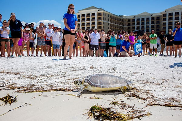 Green sea turtle release at beach