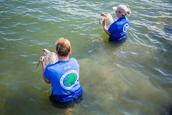 double green sea turtle release in the water