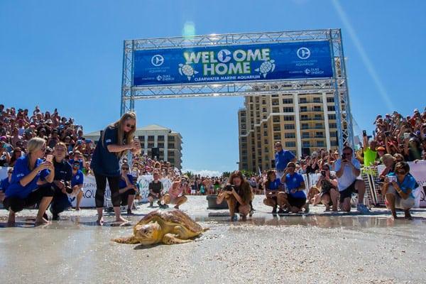 Kreacher satellite sea turtle release at Clearwater Beach, Florida