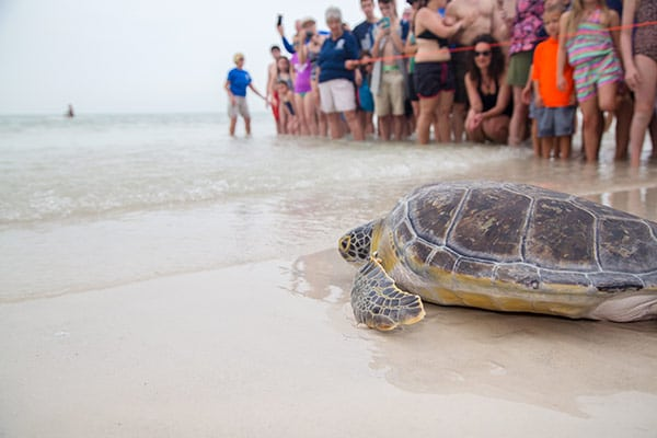 Juvenile green sea turtle release
