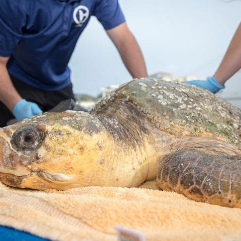 Golden Graham loggerhead rescued sea turtle being cleaned