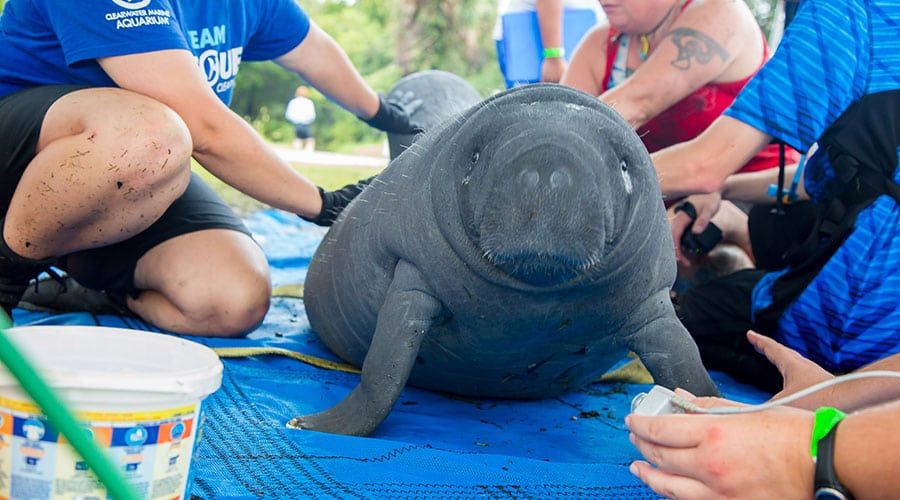 manatee rescued in Cyrstal River, Florida
