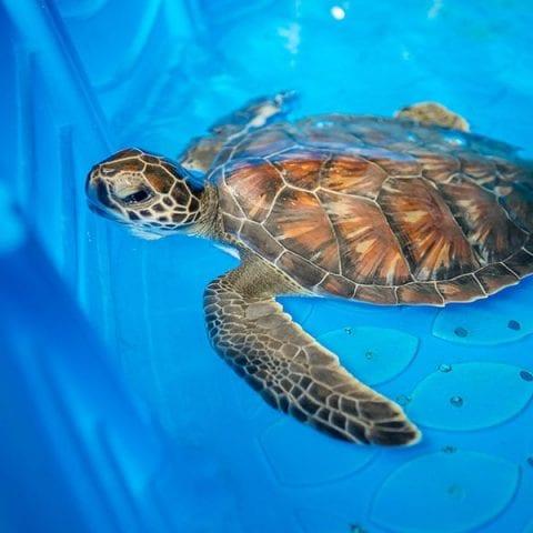 Chex sea turtle