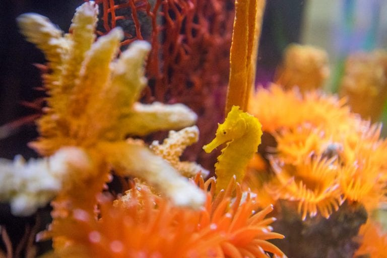 cheeto seahorse habitat