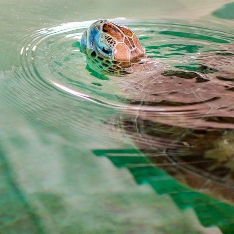 Zo green sea turtle swimming