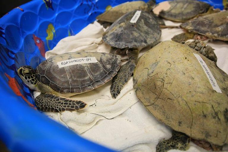 group of rescued sea turtles in dry dock rehab pool