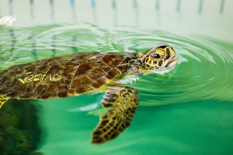 sea turtle rehab zodiac