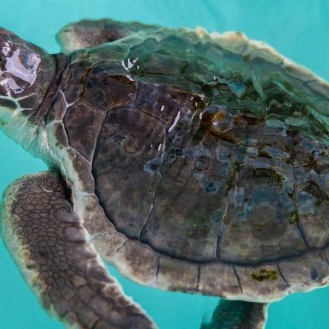 149 Kemps ridley sea turtle