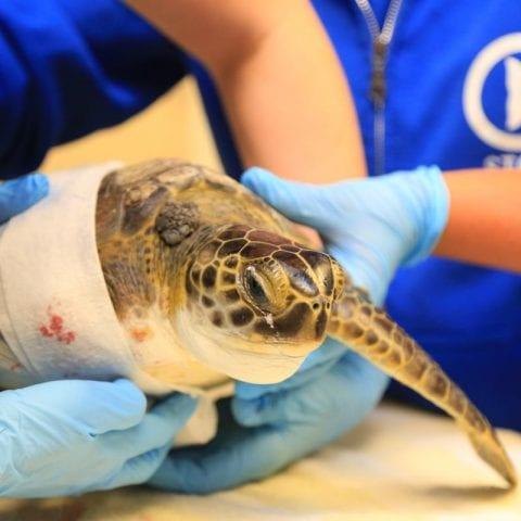 urkel injured sea turtle