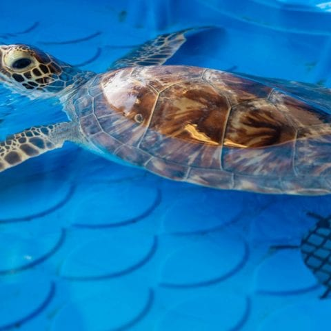 Kerplunk green sea turtle in rehab pool