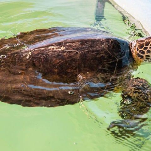 sea turtle rehab zelda