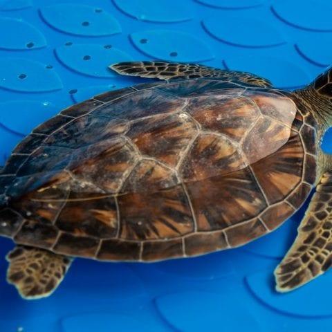 doug, sea turtle rehab patient