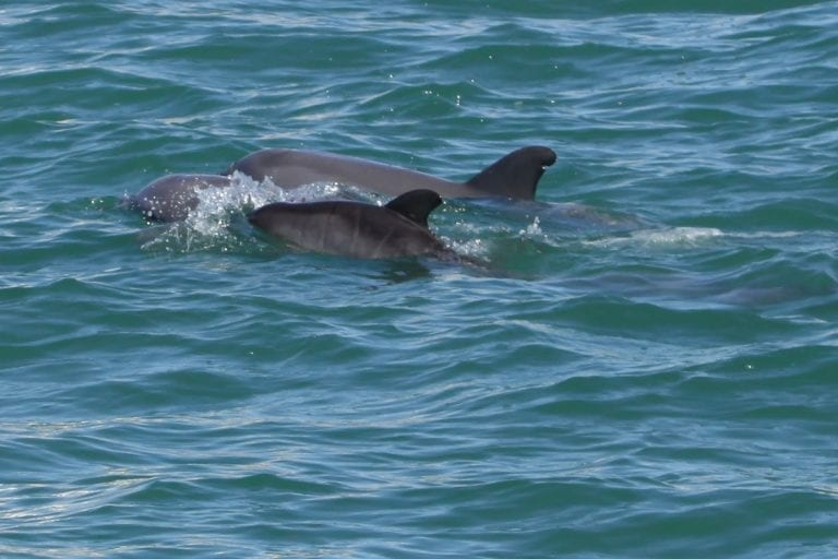 Dolphins, Parcel, Bundle, and new calf.