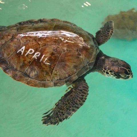 April, sea turtle rehab