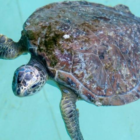 Road runner, rehab sea turtle