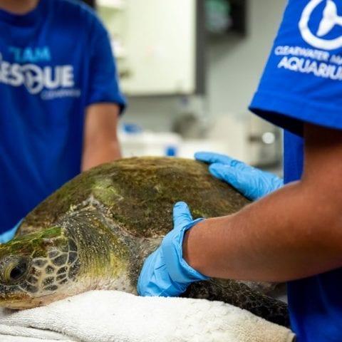 Olivia, sea turtle rehab patient