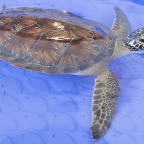 Tax, green sea turtle
