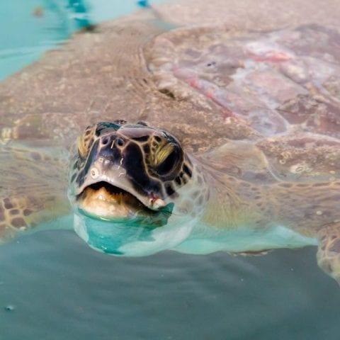 Xavier, rehab green sea turtle