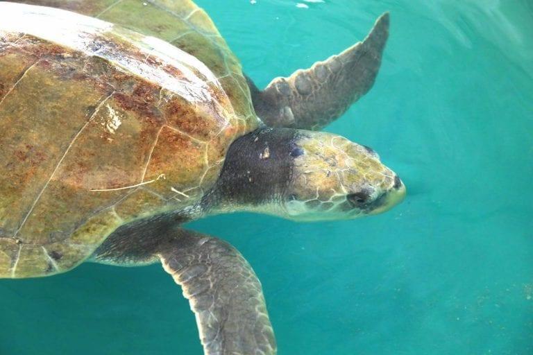 Charlie, sea turtle in rehab