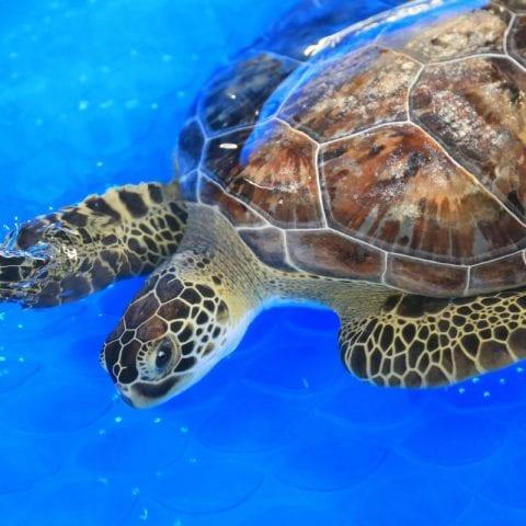 Ezra, sea turtle in rehab