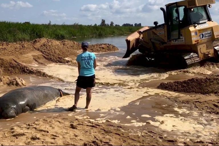 Stranded manatee rescued in Savannah, Georgia