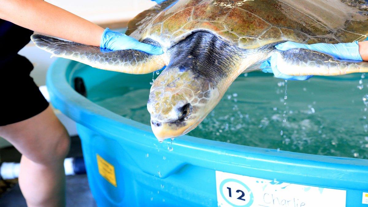 Kemp's Ridley Sea Turtle - Charlie - Clearwater Marine ...
