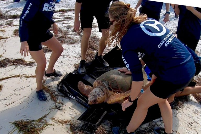 Sea Turtle being saved
