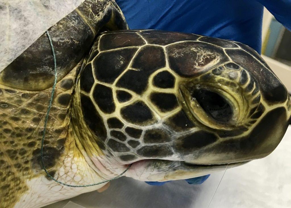 green sea turtle Nerds