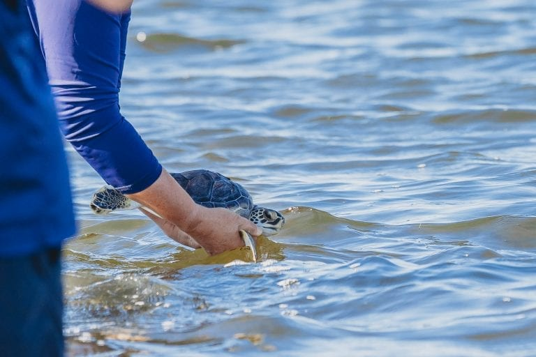green sea turtle being released