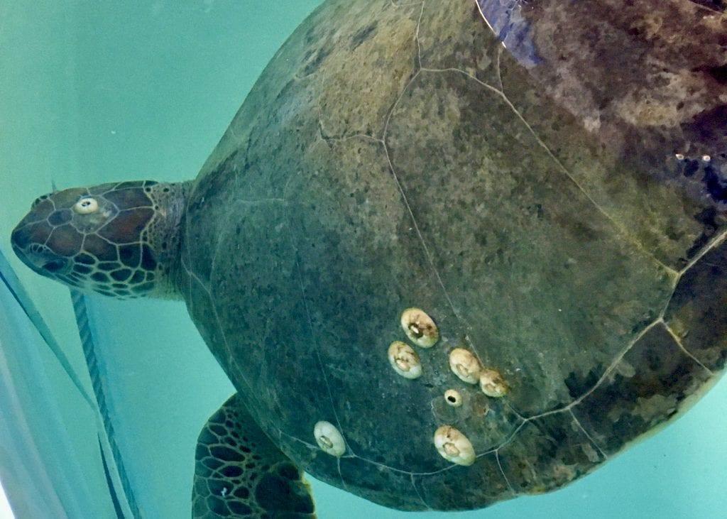 green sea turtle twizzler