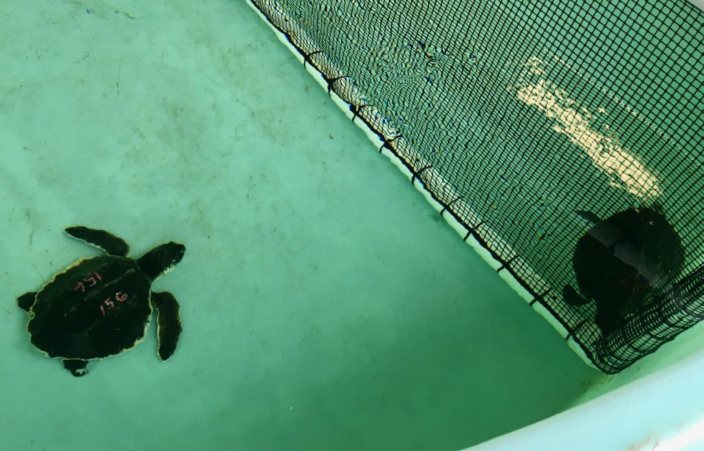 Two Kemp ridley patients shown in their rehab pool.