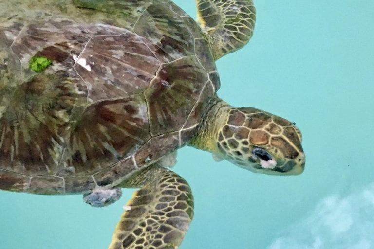 juvenile green sea turtle Twix