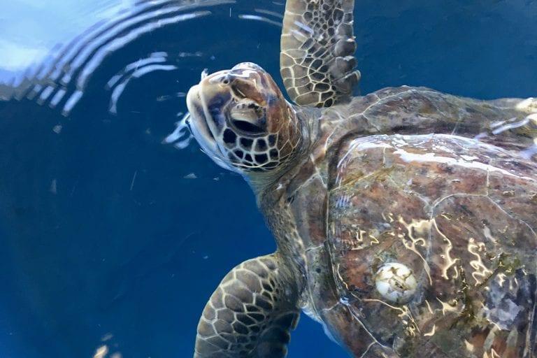 green sea turtle Ivan