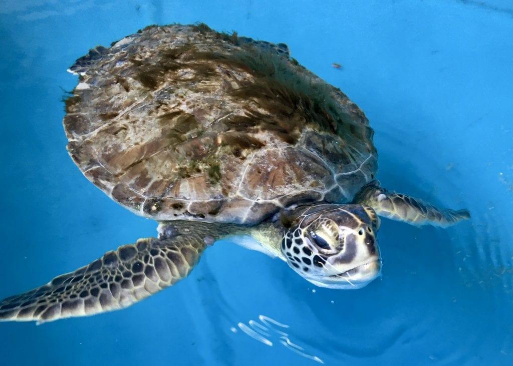 green sea turtle Percy