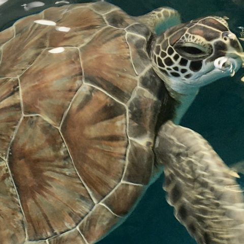 green sea turtle Rupert