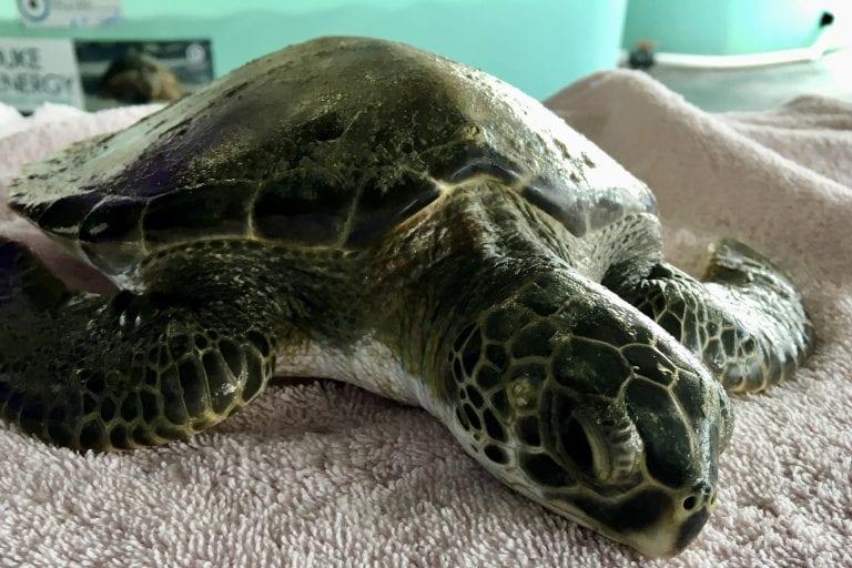 green sea turtle Ludwig