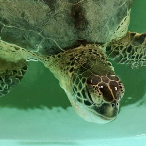 green sea turtle Jerome