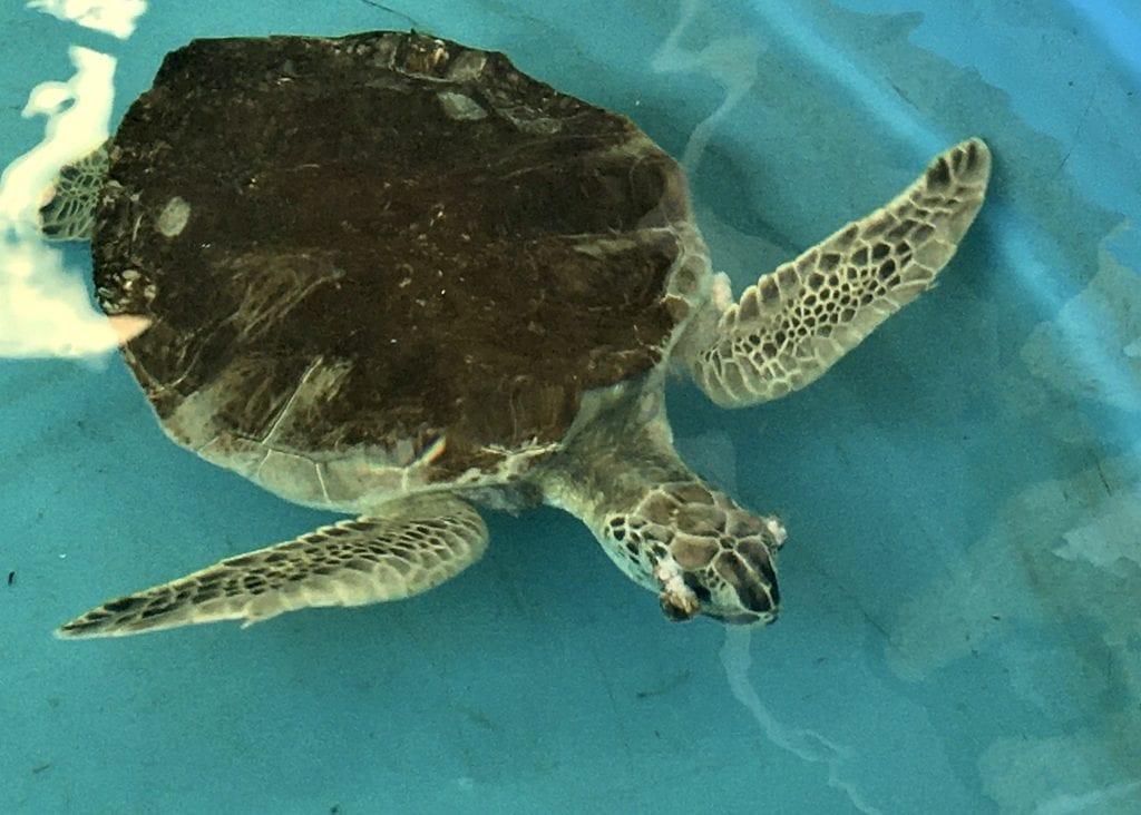 green sea turtle Quinten
