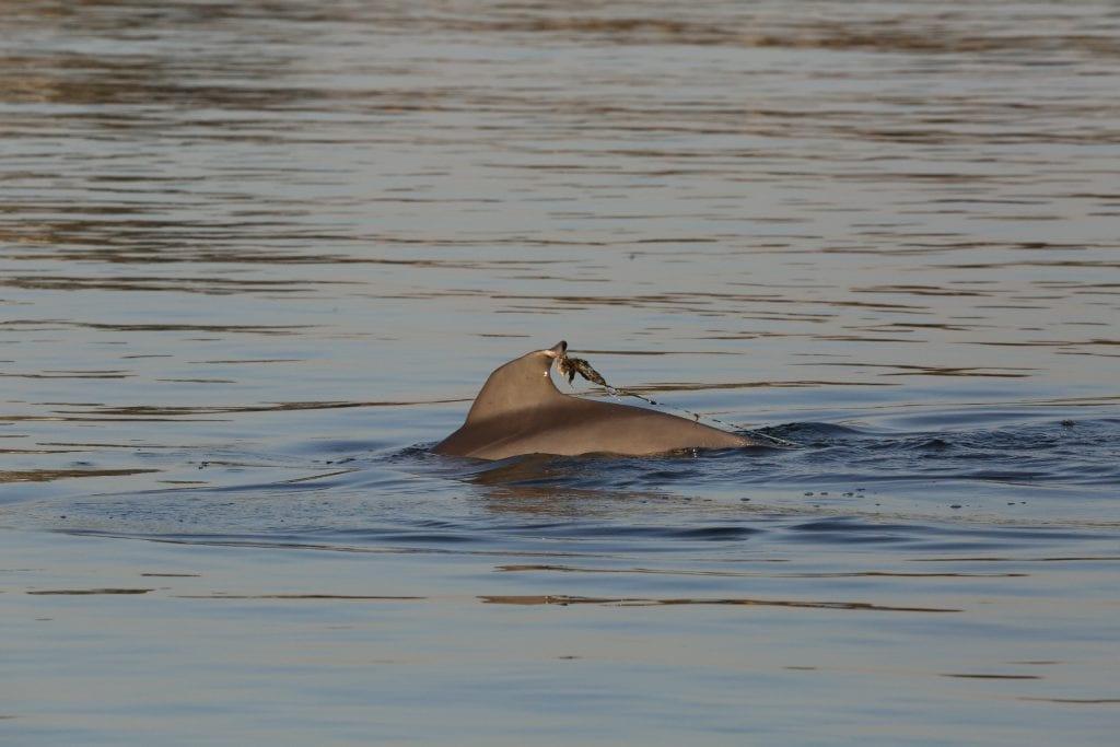 entangled dolphin calf