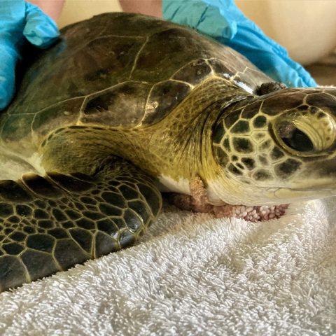 green sea turtle Iggy