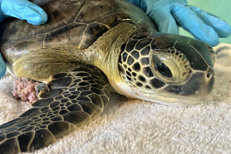 green sea turtle jess